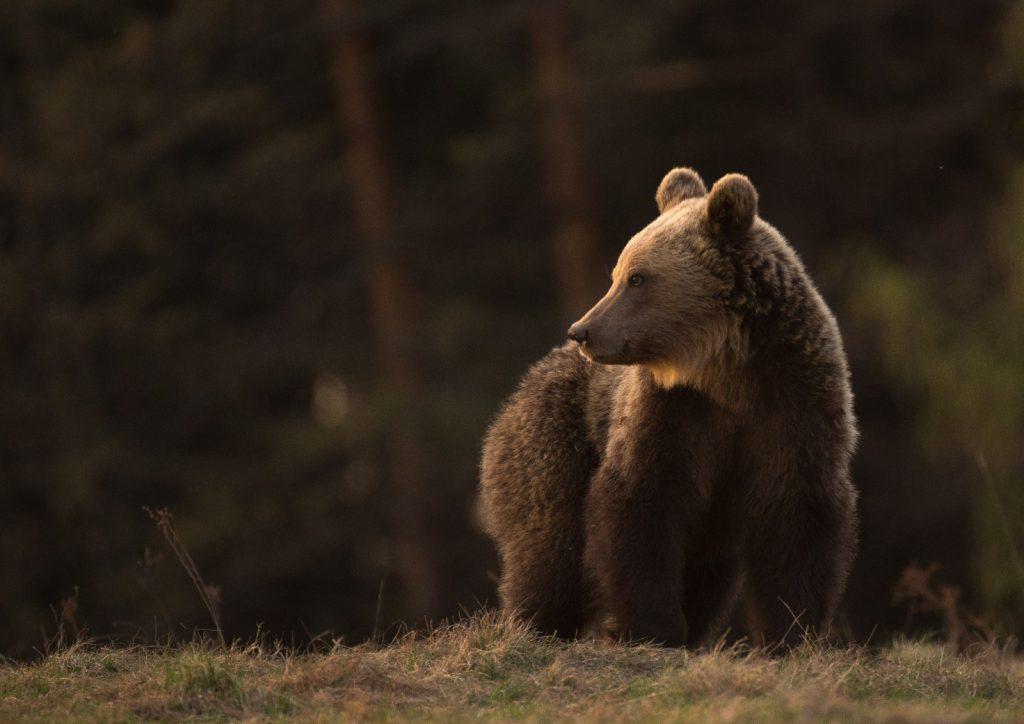 Ministrul Mediului, Taczos Barna, anunță modificarea legislației: Urșii agresivi, uciși în 24 de ore
