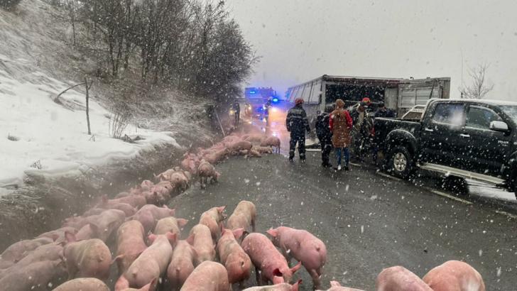 Un TIR cu 600 de porci s-a răsturnat pe DN 17, în Bistrița-Năsăud. 100 de animale nu au supraviețuit (VIDEO)