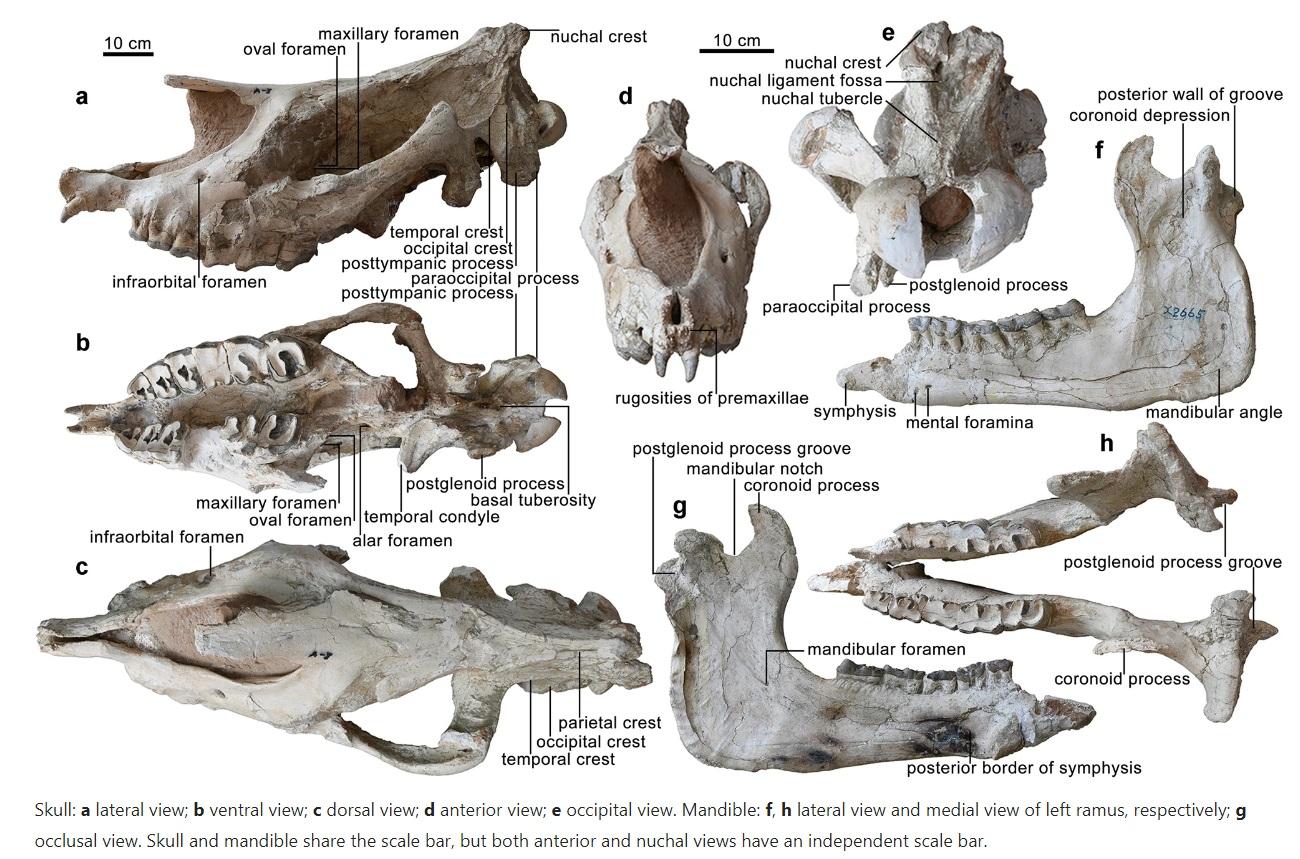 Noi fosile ale unor rinoceri gigantici, cel mai mare mamifer din lume, au fost descoperite în China- FOTO