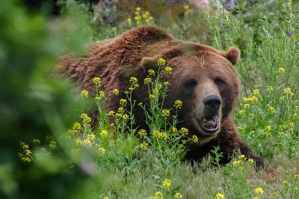 Urs ucis de localnici cu furci și topoare, după ce a rănit trei bărbați într-un sat din Vrancea. Ce se întâmplase cu animalul, înainte de atac thumbnail